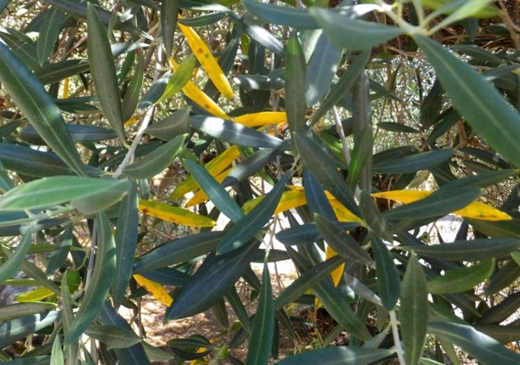 hoja olivo amarilla