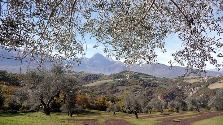 olive-trees-italy