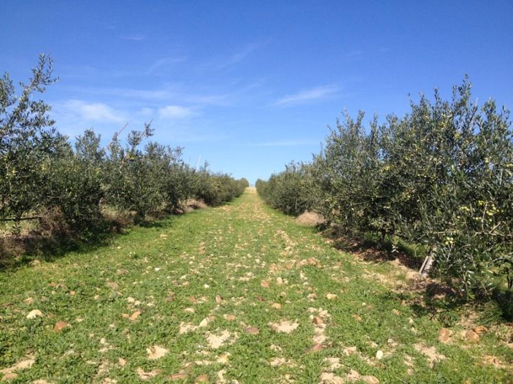 4 olivares oliduero