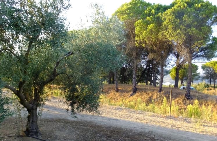 olivar-y-pinos