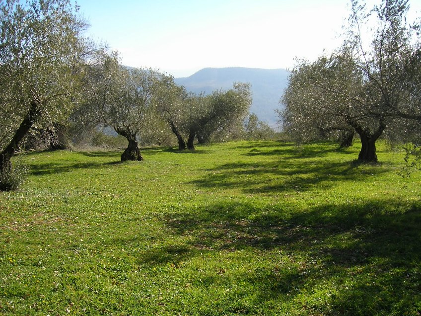 olivar-ecologico