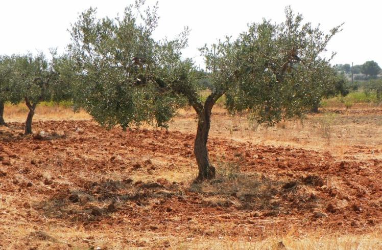 olivar-en-sicilia