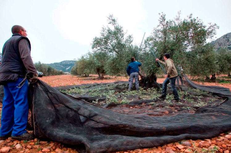 olivareros-castilla-la-mancha