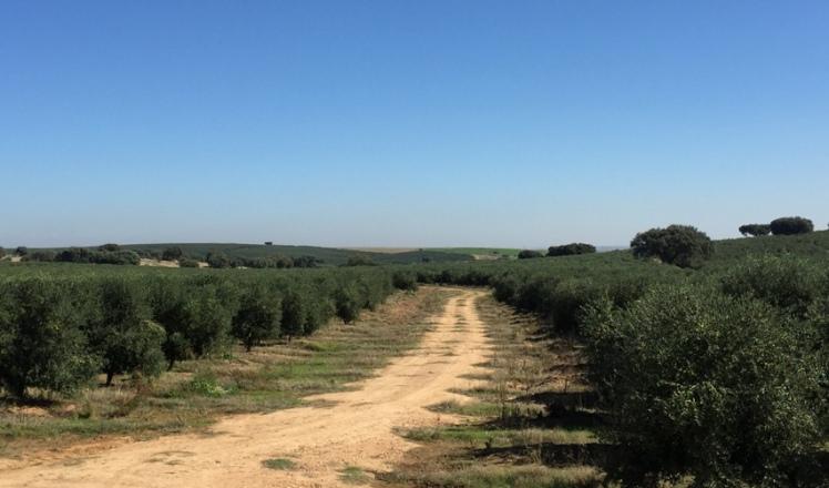 portugal-olivar