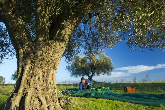 olivar caponetti