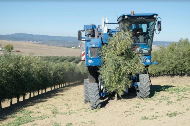 olivar en seto recoleccion