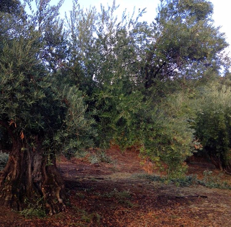 05 olivar de castro 2
