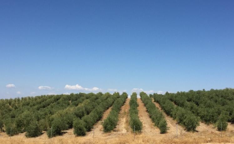 nuevo olivar