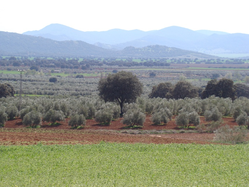 Olivares con la Sierra de Alcaraz al fondo