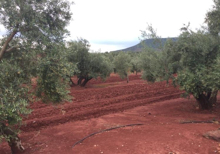 olivar español