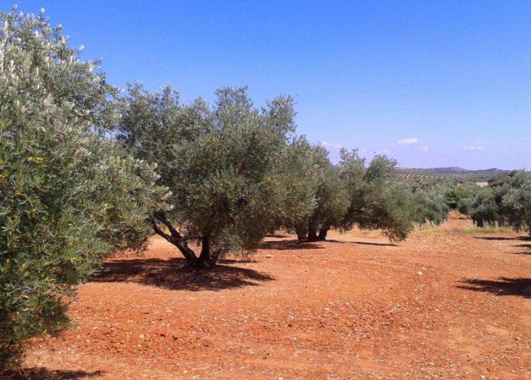 sipcam olivar