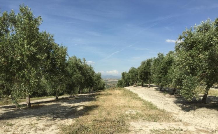 cruso olivicutura