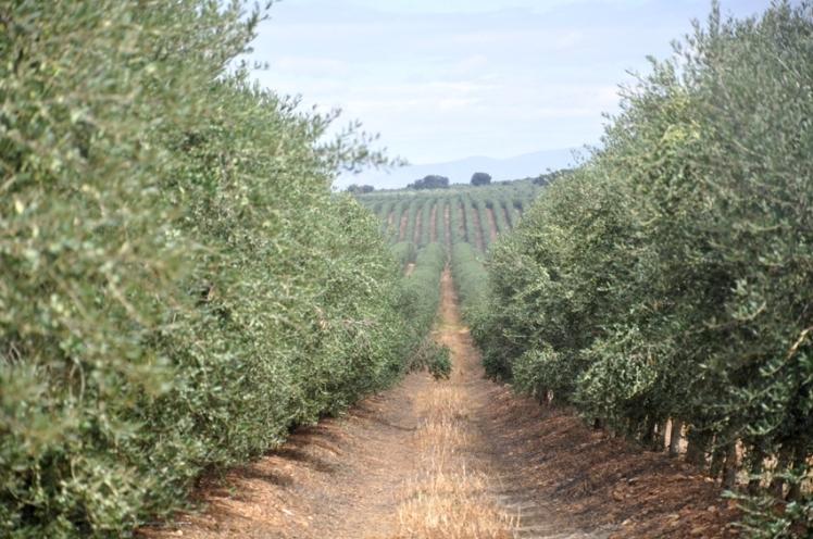 olivar arbequina