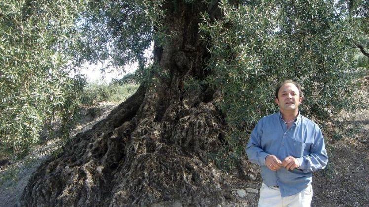 fermín en un olivo milenario