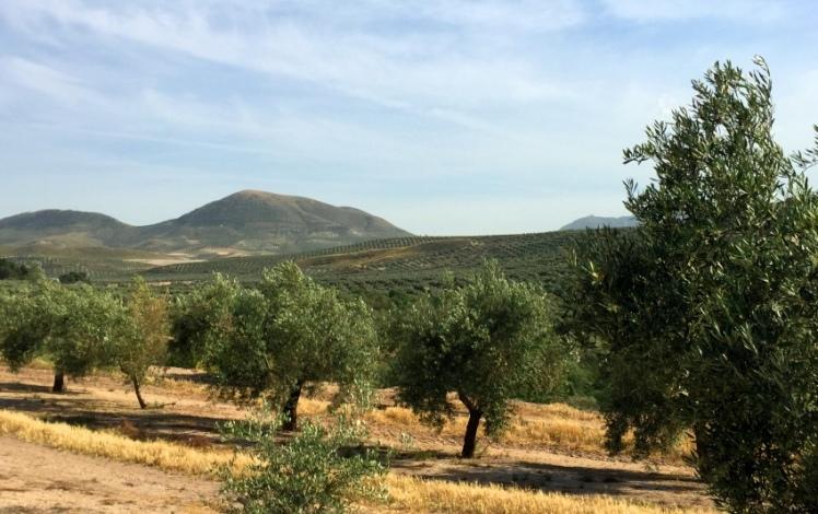olivar regadio