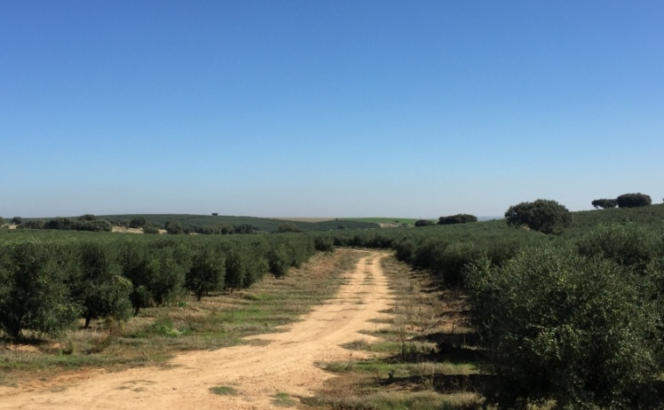 rentabilidad olivar