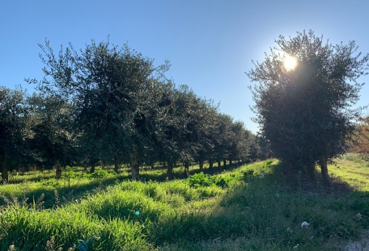 arbequina_sol