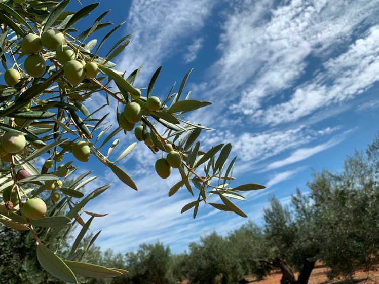 olivo magnun
